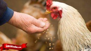 Lengkap Segala Hal Tentang Ayam