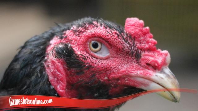 Rumus Sukses Sembuhkan Mata Ayam S128