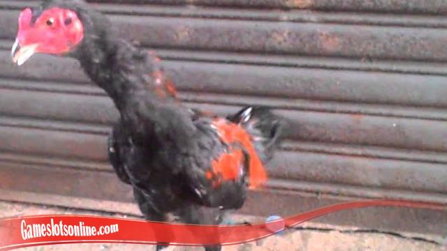 Rumus Sukses Untuk Tingkatkan Mental Ayam S128
