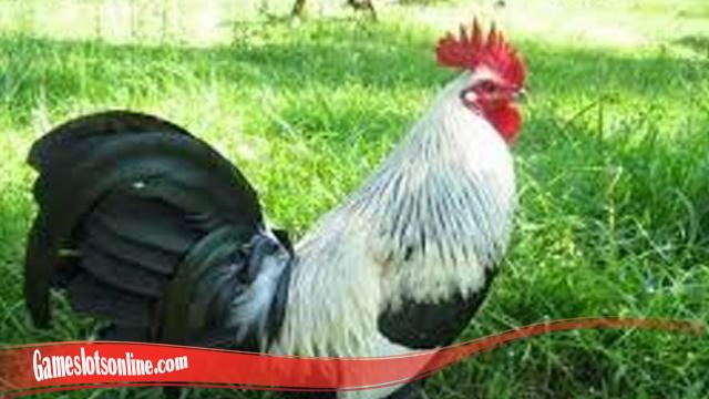 Rumusan Untuk Lebatkan Bulu Ayam SV388